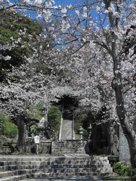甘縄神明神社の桜。