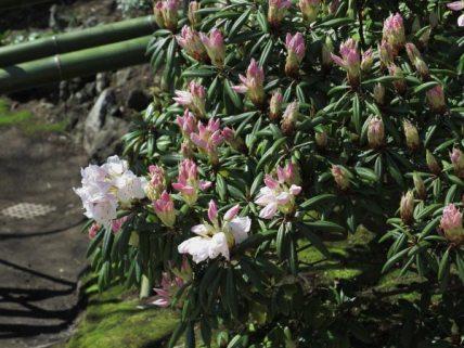 長谷寺の石楠花(シャクナゲ)。桜の頃、この程度咲いていました。