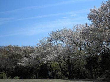 源氏山公園の桜。鎌倉の春の空と桜を味わうにはここが一番。
