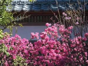 長谷寺弁天窟のあたりにある吉野躑蠋(ヨシノツツジ)。3月〜4月に咲き、桜とともに眺めることができます。