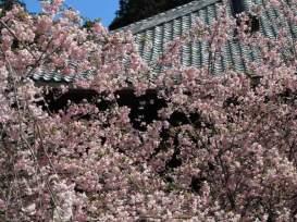 妙本寺の海棠(カイドウ)。鮮やかで控えめな薄紅色。