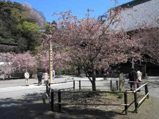 妙本寺の海棠(カイドウ)。祖師堂の右にある株。陽当たりのよい左の2株が先に開花します。