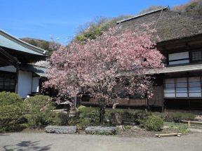 海蔵寺の海棠は本堂の前にあります。