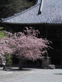 妙本寺の海棠(カイドウ)。祖師堂の左に2株、右に1株あります。桜と前後して(概ね少し遅く)咲く海棠は鎌倉ではとても人気があります。
