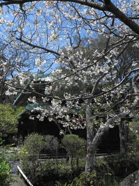 英勝寺本堂と桜。