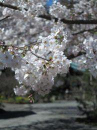 光則寺はすぐ近くの長谷寺と対称的。長谷寺が晴々なら、光則寺は森々。桜もその雰囲気を纏います。