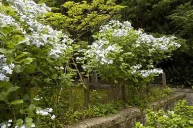 安国論寺のあじさい。毎年この白が目をひきます。