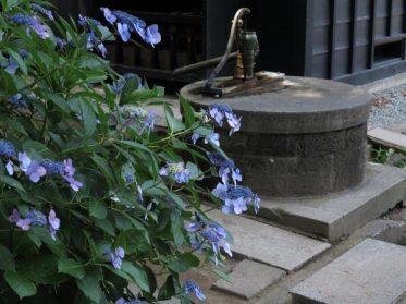 東慶寺のあじさいの中で筆者が一番好きなのがここ。松岡宝蔵の脇です。