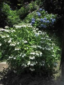 円覚寺の三門手前から右手の参道に入るとあじさいが多く植えられています。三門手前から右手の参道に入るとあじさいが多く植えられています。
