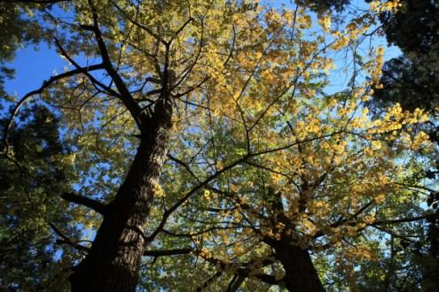 朝比奈切通しの紅葉。熊野神社の拝殿付近にある銀杏。