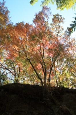 朝比奈切通しの紅葉。見事な山の紅葉。