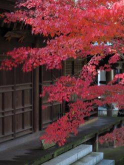 長勝寺法華堂前の紅葉。法華堂との色合いがきれいです。
