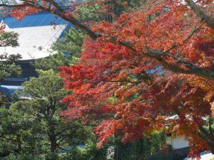 建長寺役寮あたりにある紅葉越しに伽藍をのぞみます。