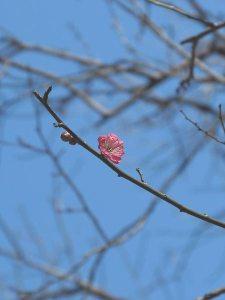 2014年12月18日、荏柄天神社の寒紅梅。一番最初に開いた蕾を発見。