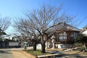 光念寺境内。本堂前に大きな桜があります。
