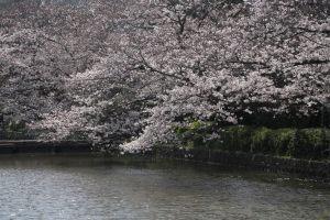 2015年3月30日(月)、鶴岡八幡宮の桜。見頃です。