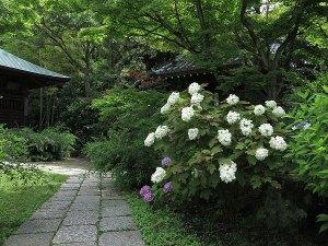 浄光明寺のあじさい。数は少ないですがきれいです。たくさんあればいいというものでもないですね。