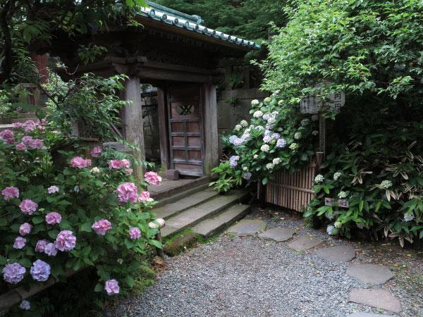 英勝寺祠堂門前のあじさい。鎌倉らしいあじさいを感じられます。