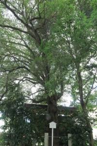 大鳥居側にあるモッコクの大木。樹齢は550年。