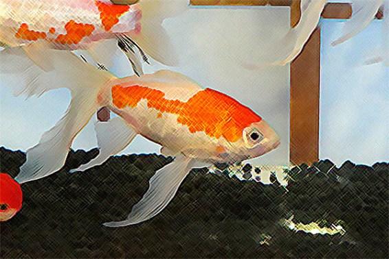 「和喫茶 金魚の栖」のコメットを絵画風に。