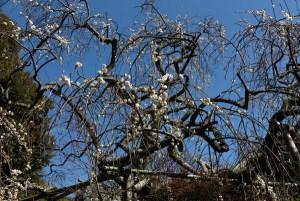 平成30年3月1日(木)、宝戒寺の枝垂梅。