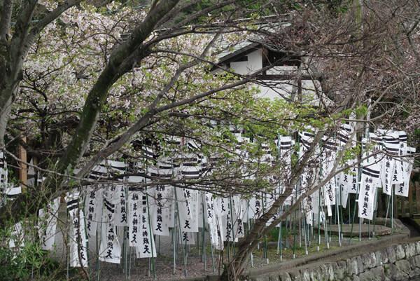 平成30年(2018年)3月23日(金)、鶴岡八幡宮の桜。大島でしょうか、この桜はもう見頃を過ぎています。