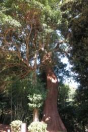 伊豆山神社。御神木のくすのき。