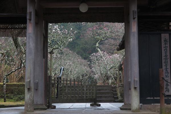令和2年(2020年)2月26日、東慶寺の梅。