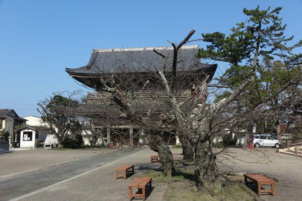 令和2年(2020年)3月19日、光明寺の桜。