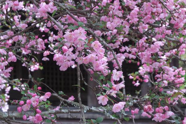 令和2年(2020年)3月30日(月)、妙本寺の海棠(カイドウ)。