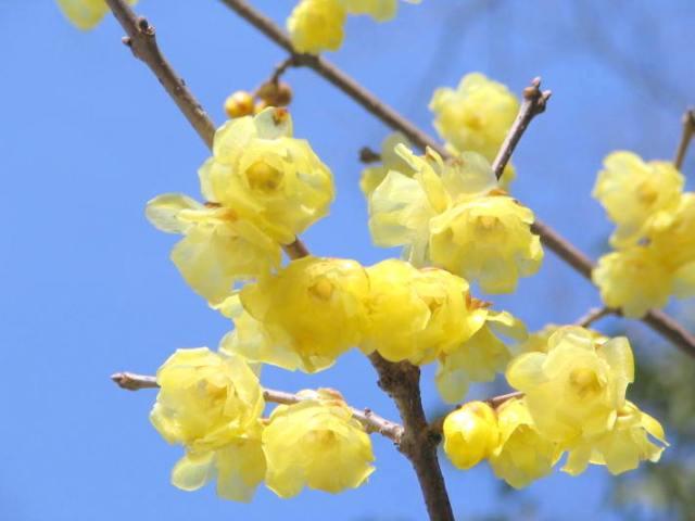 「蝋梅の花 無料写真」の画像検索結果