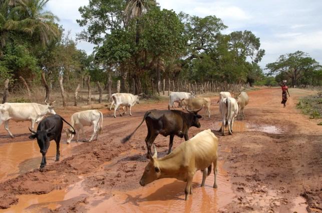 GAMBIA. Carretera que llega a DARSILAMI.