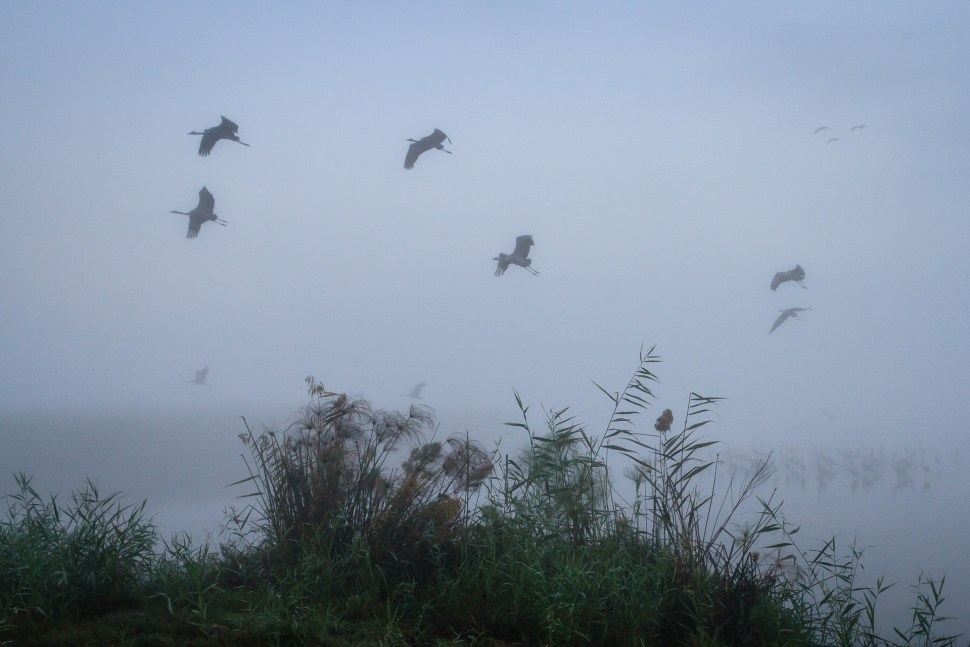 Flock of Common crane (Grus grus) in dawn mist on shallow water with some flying. Agamon Hula. Hula Valley. Israel.