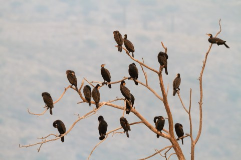 Great Cormorant (Phalacrocorax carbo) group perched on tree. Hula Nature Reserve. Hula Valley. Israel.