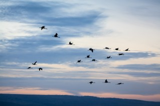 Common cranes (grus grus) in flight silhouetted at dusk. Agamon Hula. Hula Valley. Israel.