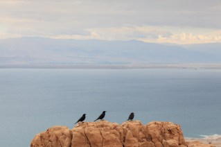 Tristram's Starling (Onychognathus tristramii), three perched on rock. En Gedi Nature Reserve. Israel.