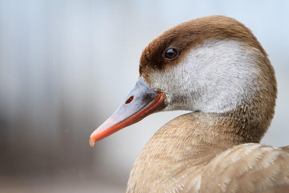 Pato colorado (Netta rufina) hembra