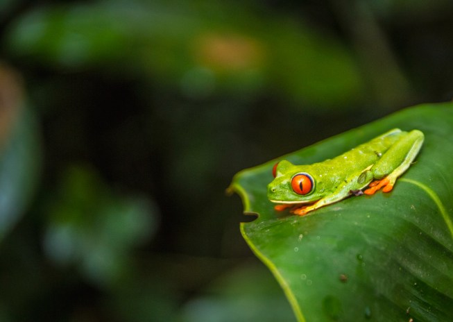 Red eyed tree frog. Agalychnis callidryas. Costa Rica