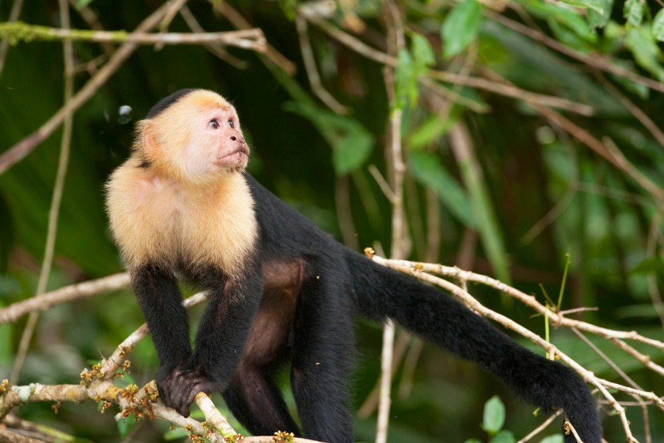 tortuguero__mono-capuchino