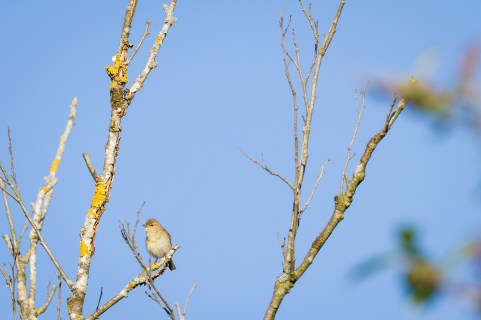 Common Chiffchaff (Phylloscopus collybita) perched on branch. Murnauer Moos. Murnau am Staffelsee. Upper Bavaria. Germany.
