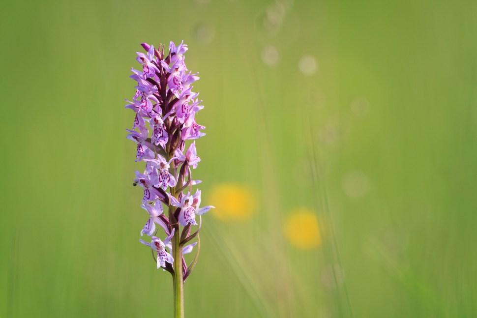 Early marsh-orchid (Dactylorhiza incarnata). Murnauer Moos. Murnau am Staffelsee. Upper Bavaria. Germany.