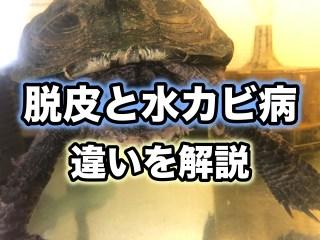 クサガメや半水棲亀の首や脚に白い皮膚のような膜が付いているのは病気?脱皮と水カビ病の違いを解説!