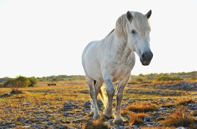 konj bile