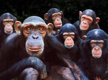 majmuni čimpanze
