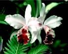 Orchids in the flower garden [ Cipanas Bogor ]