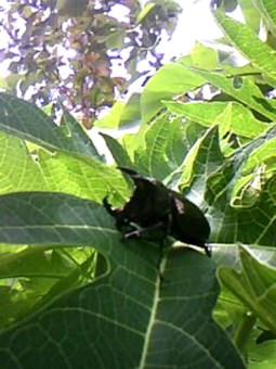 Kumbang 2