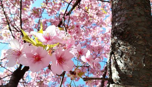宇都宮城址公園の桜が満開!