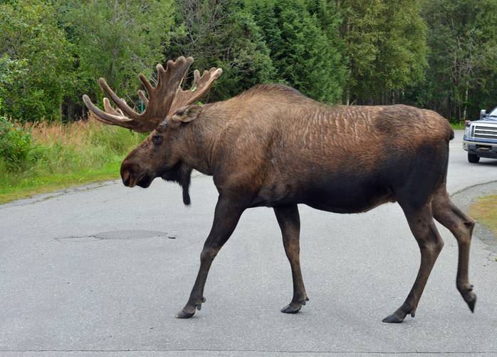 Moose crossing road, Alaska