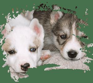 Kamisak huskykenneli – huskyn pentuja sekä huskysafareita, -retkiä ja -vaelluksia