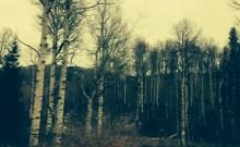Autumn Aspens.